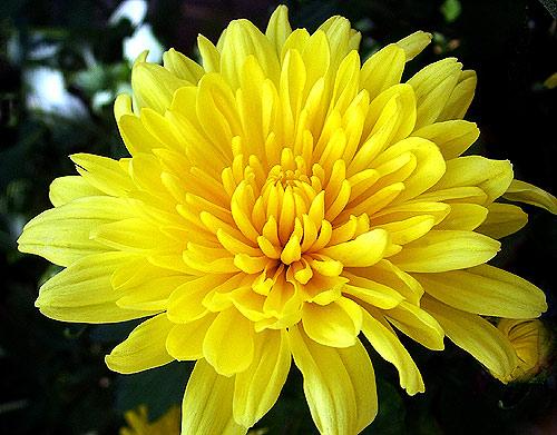 Chữa tăng huyết áp bằng hoa